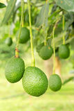 Avocados tree. Avocados  growing in a tree Royalty Free Stock Images