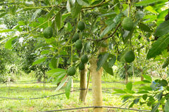 Avocados tree. Avocados  growing in a tree Royalty Free Stock Photo