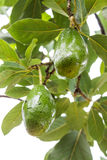 Avocados growing on tree Stock Images