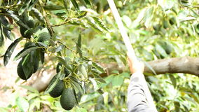 Avocados hass fruit hanging at tree stock video