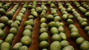 Avocados hass fruit rolling in packaging line stock video