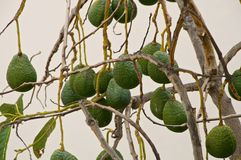 Avocados on Tree Stock Photography