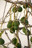 Avocados on Tree Royalty Free Stock Image