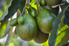 Avocados on a tree, Kenya. Multiple Avocados on a tree in Kenya royalty free stock photos