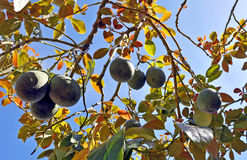 Avocados on tree. Ripe avocados hanging from tree Royalty Free Stock Photography