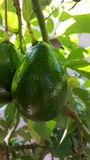 Avocados on the tree. Thes Avocados are in their natural form of growth in the tree.,  Stems, leaves, light and shadow detail Stock Photo