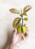 Avocadospruit op menselijke hand Stock Fotografie