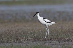 avocet παρδαλό recurvirostra avosetta Στοκ Εικόνα