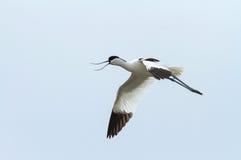 Avocet летания на голубой предпосылке Стоковые Фотографии RF