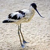 Avocet 1 Photo stock