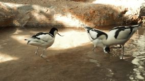 Avocet stock video