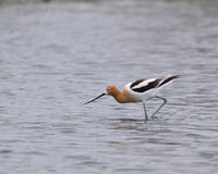 avocet Obrazy Stock