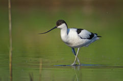 Avocet Stockfotografie