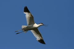 Avocet Stock Photo