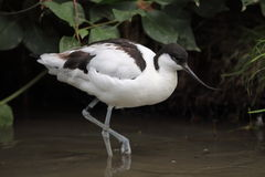 avocet Fotografia Royalty Free