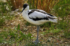 Avocet Stock Image