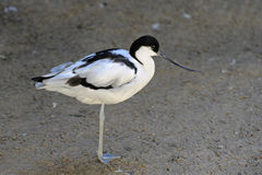 Avocet Royalty Free Stock Image