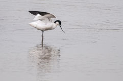 Avocet Royalty Free Stock Photo