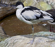 Avocet 3 Stock Image