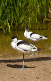 Avocet Royaltyfria Foton
