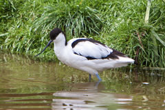 Avocet Stockfoto