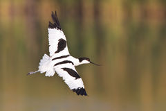avocet Obrazy Royalty Free
