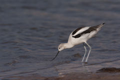 Avocet américain Photo libre de droits