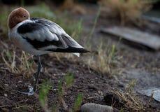 Avocet américain dans le plumage d'élevage Photo stock