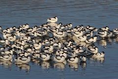 Avocet, avosetta Recurvirostra Στοκ φωτογραφίες με δικαίωμα ελεύθερης χρήσης