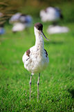 Avocet bird Stock Image