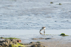Avocet chick Royalty Free Stock Image