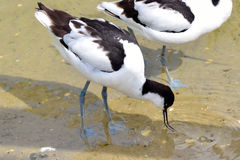 Avocet feeding Royalty Free Stock Images