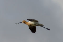 Avocet In Flight Royalty Free Stock Image