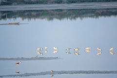 Avocet Royalty Free Stock Images