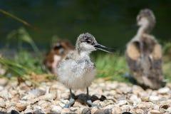 Avocet kurczątko Piękny natura wizerunek śliczny dziecko ptak od Żadny zdjęcie stock