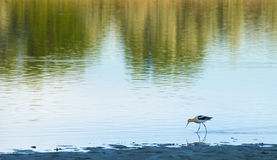 Avocet on a Lake Shore Royalty Free Stock Photography