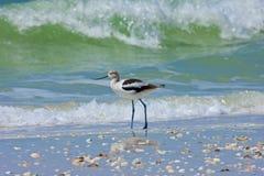 Avocet przy Bosą plażą Zdjęcie Royalty Free