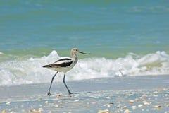 Avocet przy Bosą plażą Fotografia Royalty Free