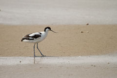 Avocet pie photographie stock libre de droits