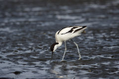 Avocet pie Image stock