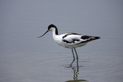 Avocet pie images stock