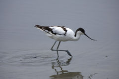 Avocet pie images libres de droits