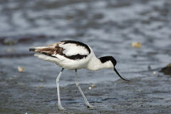 Avocet Pied Fotos de Stock