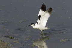 Avocet Pied - avosetta do Recurvirostra, no habitat natural Imagem de Stock