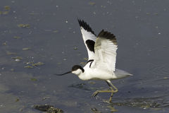 Avocet Pied - avosetta do Recurvirostra, no habitat natural Foto de Stock