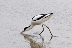 avocet recurvirostra σίτισης avosetta Στοκ φωτογραφία με δικαίωμα ελεύθερης χρήσης