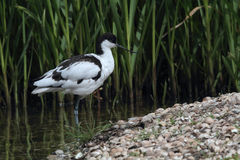 Avocet (Recurvirostra avosetta) Stock Photo