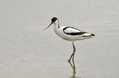 avocet recurvirostra avosetta Στοκ Εικόνες