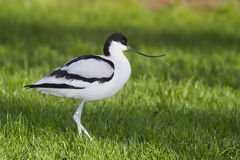Avocet ( recurvirostra avosetta) Royalty Free Stock Image