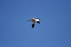 Avocet - Recurvirostra avosetta Stock Image
